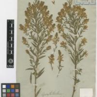 Folha de herbário da colecção Brotero. Espécie Genista tinctoria L.