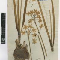 Folha de herbário da colecção Brotero. Espécie Narcissus tazetta L.