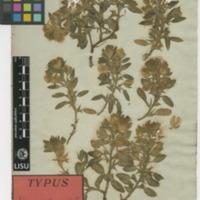 Folha de herbário da colecção Brotero. Espécie Ononis cintrana Brot.