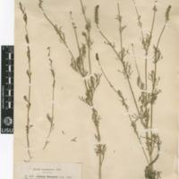 Folha de herbário da colecção Herbário Geral. Espécie Adonis flammea  Jacq.