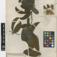 Folha de herbário da colecção Herbário Geral. Espécie Cayaponia ternata  (Vell.) Cogn.