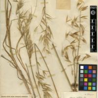 Folha de herbário da colecção Herbário Geral. Espécie Avenasativa L.