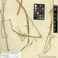 Folha de herbário da colecção Herbário Geral. Espécie Avenasterilis  L. subsp. Sterilis