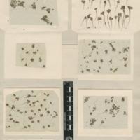Folha de herbário da colecção Herbário Geral. Espécie Azolla caroliniana Willd.
