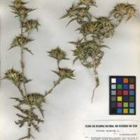 Folha de herbário da colecção Herbário Geral. Espécie Carlina racemosa L.
