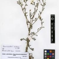 Folha de herbário da colecção Herbário Geral. Espécie Chamaemelum mixtum  (L.) All.