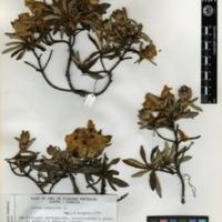 Folha de herbário da colecção Herbário Geral. Espécie Cistusladanifer L.