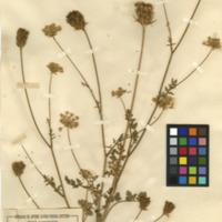 Folha de herbário da colecção Herbário Geral. Espécie Daucus carota  L. subsp. maritimus (Lam.) Batt.