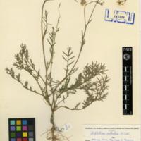 Folha de herbário da colecção Herbário Geral. Espécie Diplotaxis catholica  (L.) DC.