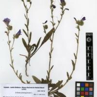 Folha de herbário da colecção Herbário Geral. Espécie Echium plantagineum L.