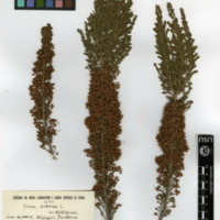 Folha de herbário da colecção Herbário Geral. Espécie Ericaarborea L.