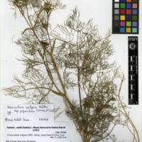 Folha de herbário da colecção Herbário Geral. Espécie Foeniculum vulgare  Mill. Subsp. piperitum (Ucria)Cout.