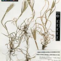 Folha de herbário da colecção Herbário Geral. Espécie Hordeum murinum  L. susbsp. leporinum (Link)Arcang.