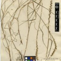 Folha de herbário da colecção Herbário Geral. Espécie Lolium multiflorum  Lam. var. multicum DC.