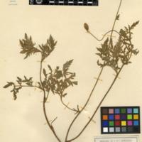 Folha de herbário da colecção Herbário Geral. Espécie Papaver rhoeas L.