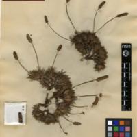 Folha de herbário da colecção Herbário Geral. Espécie Plantago almogravensis Franco