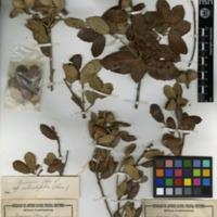 Folha de herbário da colecção Herbário Geral. Espécie Quercusrotundifolia Lam.