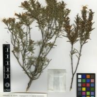 Folha de herbário da colecção Herbário Geral. Espécie Rosmarinusofficinalis L.