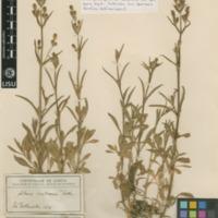 Folha de herbário da colecção Herbário Geral. Espécie Silene longicilia  (Brot.) Otth