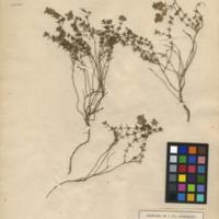 Folha de herbário da colecção Herbário Geral. Espécie Thymus zygis  ssp. sylvestris (Hoffmanns. &amp