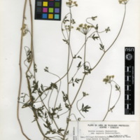 Folha de herbário da colecção Herbário Geral. Espécie Torilis arvensis  (Huds.)Link