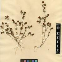 Folha de herbário da colecção Herbário Geral. Espécie Trifolium aureum  Pollich.