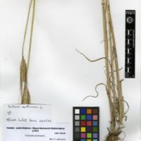 Folha de herbário da colecção Herbário Geral. Espécie Triticum aestivum L.