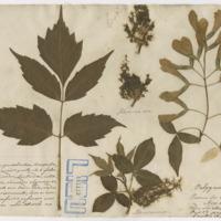Folha de herbário da colecção Valorado. Espécie Acer negundo L.