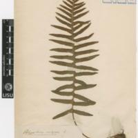Folha de herbário da colecção Valorado. Espécie Polypodium vulgare L.
