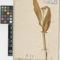 Folha de herbário da  colecção Vandelli. Espécie Allium ursinum L.