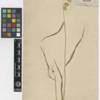 Folha de herbário da  colecção Vandelli. Espécie Briza maxima L.