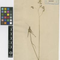 Folha de herbário da  colecção Vandelli. Espécie Briza media L.