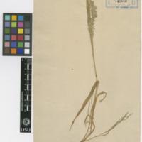 Folha de herbário da  colecção Vandelli. Espécie Briza minor L.
