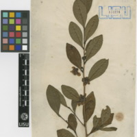 Folha de herbário da  colecção Vandelli. Espécie Camellia sinensis var. sinensis