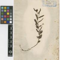 Folha de herbário da  colecção Vandelli. Espécie Chamaecrista nictitans  (L.) Moench