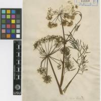 Folha de herbário da  colecção Vandelli. Espécie Cicuta virosa L.