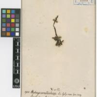 Folha de herbário da  colecção Vandelli. Espécie Corallorhiza trifida  Châtel.