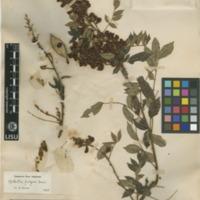 http://www.arca.museus.ul.pt/ArcaSite/obj/herb2/MUHNAC-0002445-JB-IMG-web.JPG