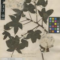 http://www.arca.museus.ul.pt/ArcaSite/obj/herb2/MUHNAC-0002446-JB-IMG-web.JPG