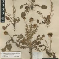 http://www.arca.museus.ul.pt/ArcaSite/obj/herb2/MUHNAC-0002452-JB-IMG-web.JPG