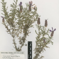 http://www.arca.museus.ul.pt/ArcaSite/obj/herb2/MUHNAC-0002454-JB-IMG-web.JPG