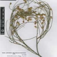 http://www.arca.museus.ul.pt/ArcaSite/obj/herb2/MUHNAC-0002460-JB-IMG-web.JPG