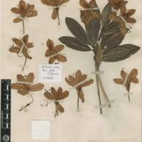 http://www.arca.museus.ul.pt/ArcaSite/obj/herb2/MUHNAC-0002461-JB-IMG-web.JPG