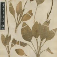 http://www.arca.museus.ul.pt/ArcaSite/obj/herb2/MUHNAC-0002462-JB-IMG-web.JPG