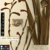 http://www.arca.museus.ul.pt/ArcaSite/obj/herb2/MUHNAC-0002465-JB-IMG-web.JPG