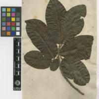 http://www.arca.museus.ul.pt/ArcaSite/obj/herb2/MUHNAC-0002468-JB-IMG-web.JPG