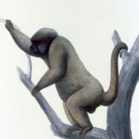 Ilustração da Expedição Philosophica pelas Capitanias do Pará, Rio Negro, Mato Grosso e Cuyabá de Alexandre Rodrigues Ferreira, com a legenda: Macaco-Ussu.