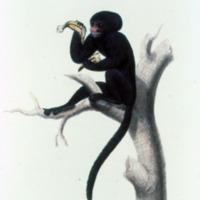 Ilustração da Expedição Philosophica pelas Capitanias do Pará, Rio Negro, Mato Grosso e Cuyabá de Alexandre Rodrigues Ferreira, sem legenda, de um Cuxiú-de-nariz-branco.