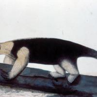 Ilustração da Expedição Philosophica pelas Capitanias do Pará, Rio Negro, Mato Grosso e Cuyabá de Alexandre Rodrigues Ferreira, com a legenda: Tamanduá-merim.