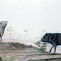 Ilustração da Expedição Philosophica pelas Capitanias do Pará, Rio Negro, Mato Grosso e Cuyabá de Alexandre Rodrigues Ferreira, com a legenda: Tatytú pequeno: porco do mato.